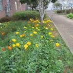 2018.3.15  庭園に咲くポピー