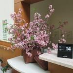 2018.3.14 河津桜 満開