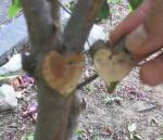 ハートの金太郎飴?いいえ。枝です。